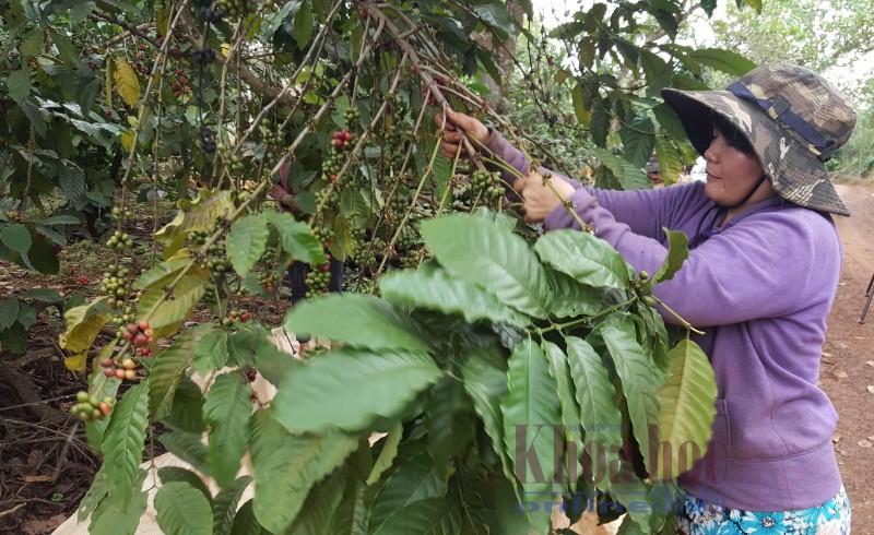 """Cà phê được mùa nhưng nông dân vẫn… """"méo mặt"""" vì rớt giá"""