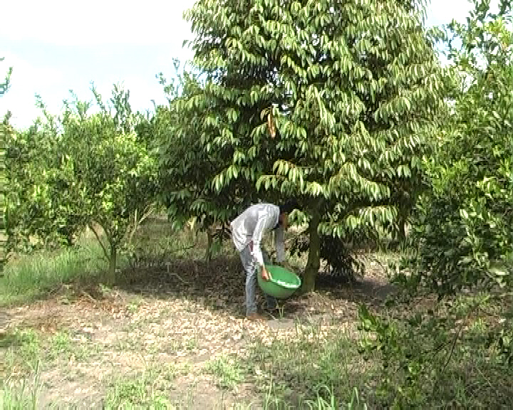 Anh Mai Thanh Sơn-ấp 7, xã Minh Lập, huyện Chơn Thành bón phân cá cho cây ăn