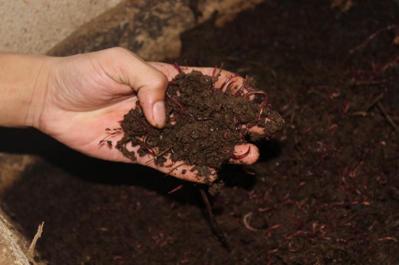 Phân trùn quế là nguồn phân bón hữu cơ rất tốt cho các loại cây trồng